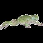 Australian Green Tree Frog (ZTABC Team)