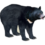Asian Black Bear (Ulquiorra)