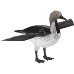Black-throated Loon (LilyValley)
