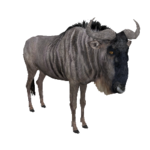 Blue Wildebeest (Aurora Designs)
