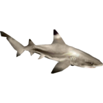 Blacktip Reef Shark (Zerosvalmont)/Version 1