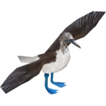 Blue-footed Booby (Carnotaurus & Wes)
