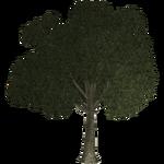 Apple Tree (Thom)