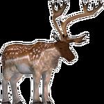 Fallow Deer (Black Lemur & Dood100125)