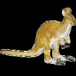 Common Wallaroo (Tamara Henson)