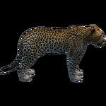 Barbary Leopard (Havok1199)