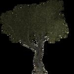 Olive Tree (Thom)