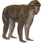 Barbary Ape (Aurora Designs)