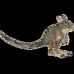 Banded Hare Wallaby (Tamara Henson)