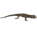 Desert Night Lizard (MiBound)