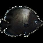 Easter Island Butterflyfish (Whalebite)
