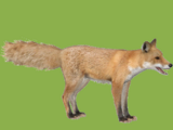 Red Fox (HENDRIX)