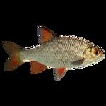Common Rudd (PaJaS30)