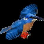 Blue-eared Kingfisher (Jose Antonio)