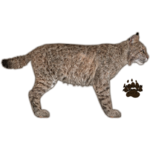 Bobcat (JimmyzHoopz)