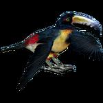 Collared Aracari (MiBound)