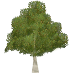 Indian Gooseberry (Artifex)