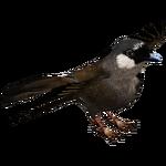 Black-throated Laughingthrush (Deerfad)