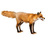 Eastern American Fox (Tamara Henson)